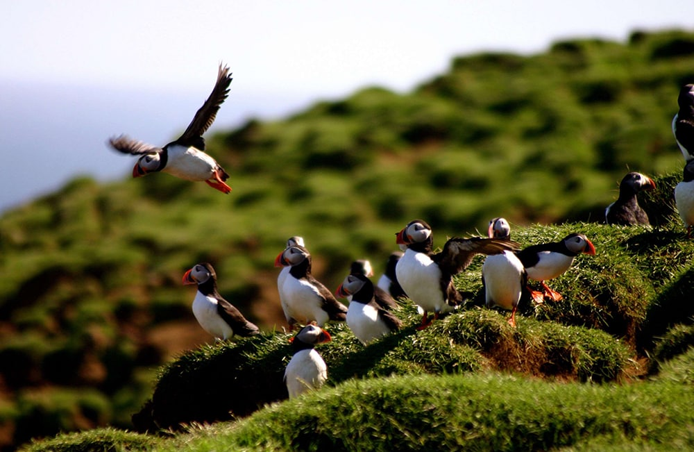 Puffins Atlantik DMC PCO Incentive Cruise Events Conferences Iceland