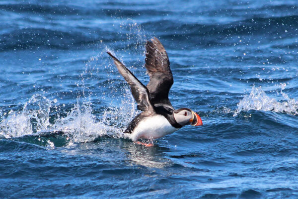 puffin Atlantik Iceland Bespoke luxury travel FIT DMC PCO